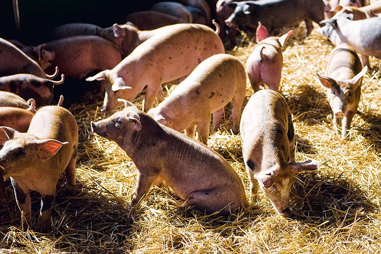 Livestream Schweine - tierwohl.tv bei REWE Richrath