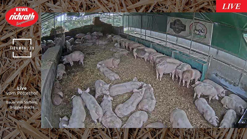Playlist REWE Richrath - Livestream Schweine