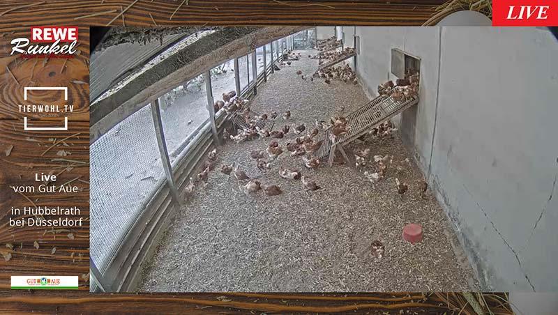 Livestream REWE Runkel Hühner Innen